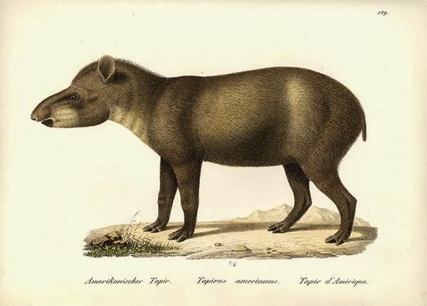 Tapirus-terrestris