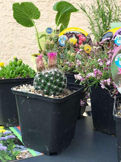 neue Pflanzen für die Terrasse - hitzefest und trockenheitstolerant (c) by Joachim Wenk