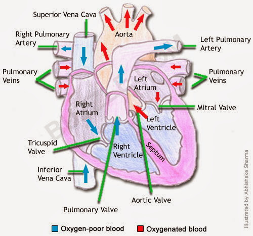 BIOMED ALL INVITED: The Human Heart [ANATOMY/PHYSIOLOGY ...