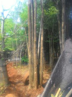 Harga jual pohon pule bonsai paling murah