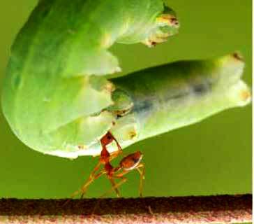Foto Semut Terkuat Asal Indonesia