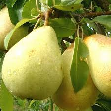 The Amazing Of  Health Benefits Of Pear Fruit For Stomach Acid and Digestion - Healthy T1ps