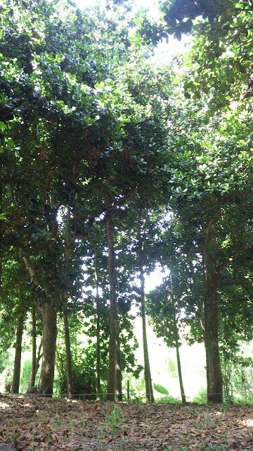 árboles adultos de mamey