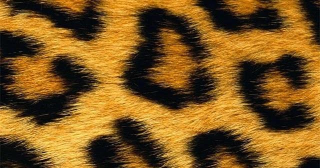 0cdadcc3e86a Sfondi Leopardati  200+ Migliori Sfondi Leopardati