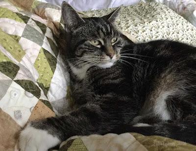 Suzi the cat enjoying Allietare, 2015 Bonnie Hunter Mystery Quilt