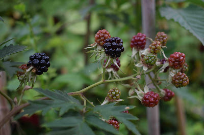 Rubus lacinatus 'Thornless Evergreen'