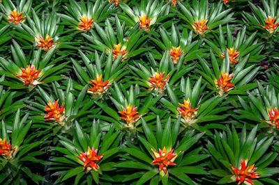 Tukang taman Surabaya cara merawat bromelia