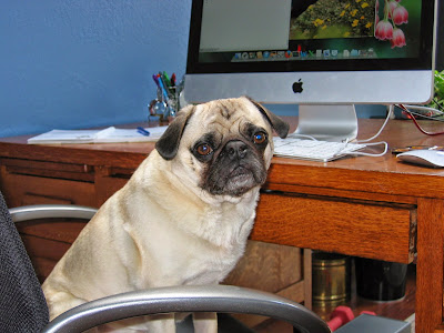 Liam the pug working on his pet blog