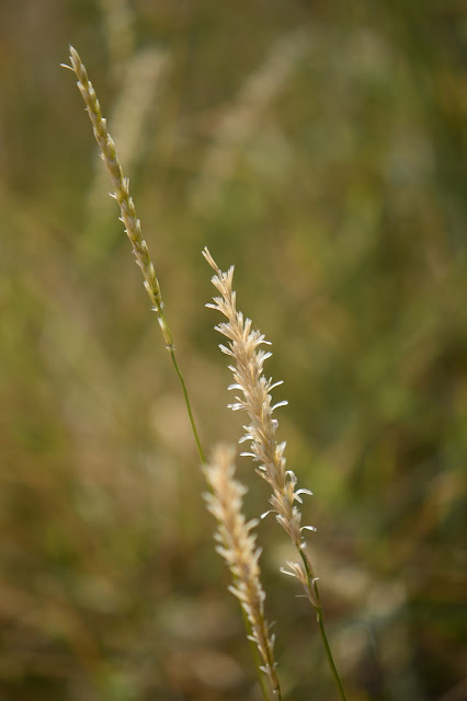 wild grasses, desert grass, Sonoran desert, amy myers photography