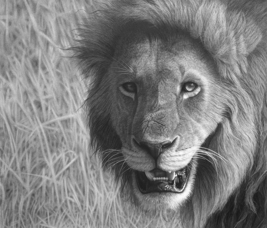 06-Lion-in-the-Maasai-Mara-Stephen-Ainsworth-Nine-Animal-Drawings-and-One-Painting-www-designstack-co