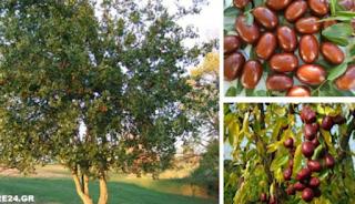 Τζιτζιφιά: Οι θαυμαστές ιδιότητές του που το έχουν κάνει γνωστό σαν δέντρο γιατρός!