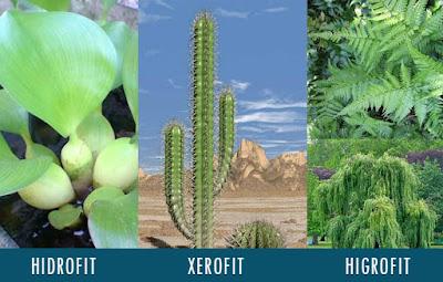 Dalam dunia tumbuhan terdapat sistem adaptasi Morfologi Pengertian Tumbuhan Hidrofit, Xerofit, Higrofit, Halofit dan Mesofit