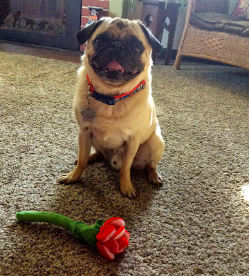 Liam the pug with a flower toy