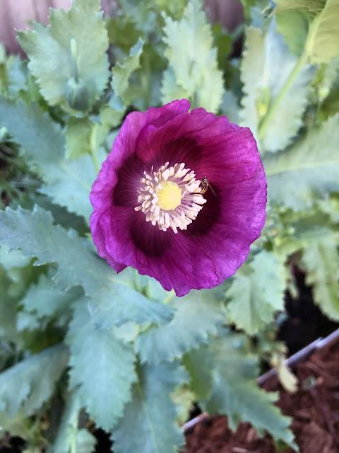 poppies, lauren's grape poppy, purple poppy, breadseed poppy, Anne Butera, My Giant Strawberry