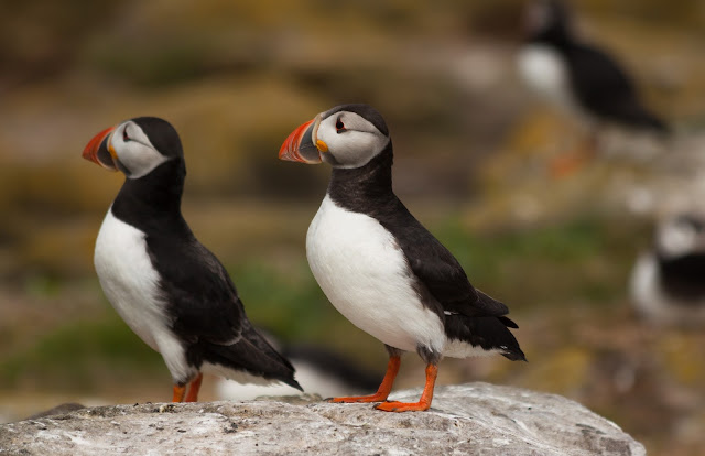 Puffins - Farne Islands, Northumberland