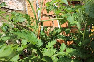 петуньи, томаты на балконе, балконное чудо, рассада на балконе, урожай на балконе, выращиваем овощи в квартире, помидоры на балконе, настроение своими руками, чернобривцы , бархатцы, огород дома,