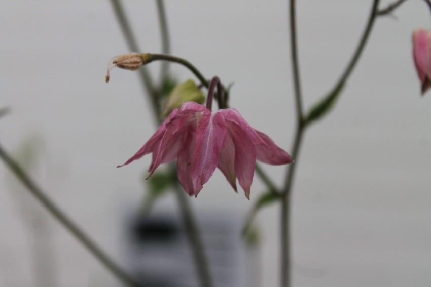 Aquilegia rosa