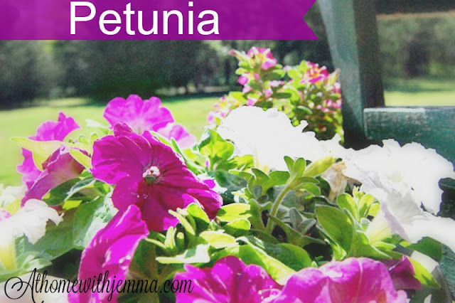 petunias, purple, white, container gardening, blooming flowers in the Summer