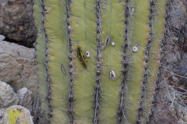 grasshopper on saguaro