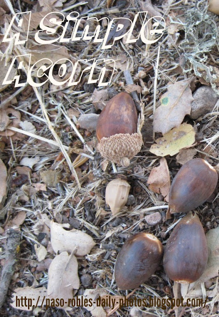 Theme Day: A Simple Acorn