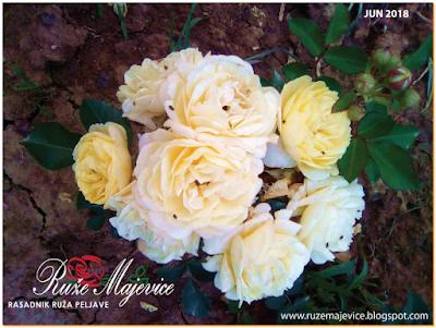 Važno je da ruže imaju osim dovoljno sunčevog svjetla i dvoljno prostora oko sebe kako bi vazduh cirkulisao, a cirkulacija vazduha spriječava razvoj monogih bolesti kod ruža.