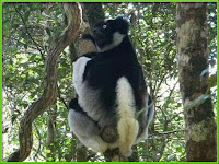Indri Animal Pictures