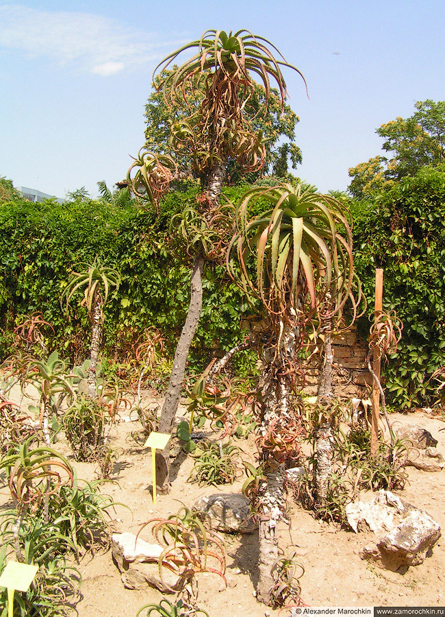 Алоэ древовидное в ботаническом саду Балчика