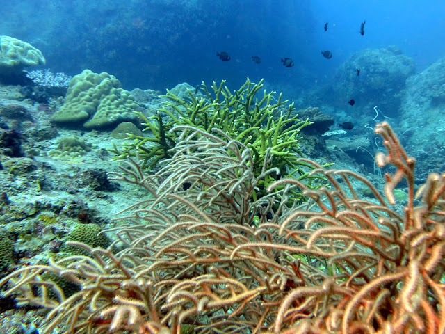 whip corals, Malaysia, south china sea, scuba diving, tioman island, salang
