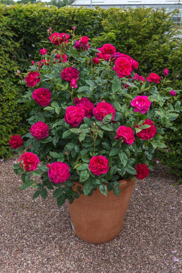 Rosas color fuchsia, rosal ingles en contenedor