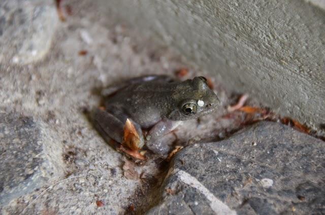 カエルみたいな鳴き声の鳥 - 猫山三里
