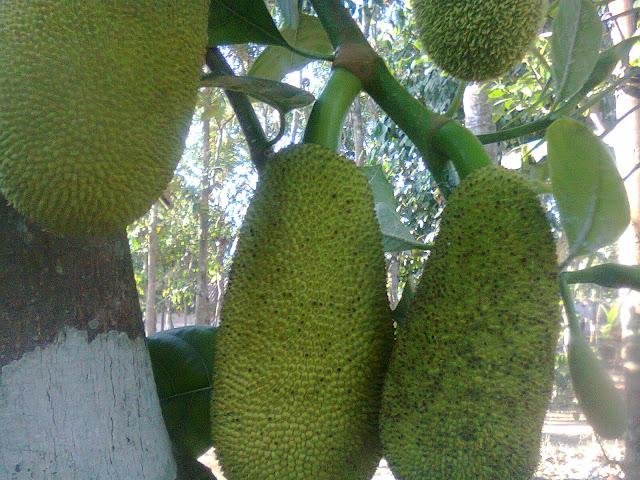 Pohon Nangka Organik Berbuah Lebat