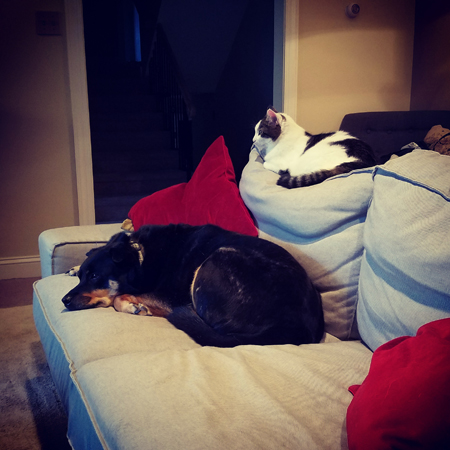 image of Zelda the Black and Tan Mutt curled up on the couch, with Olivia the White Farmcat curled up on the back of the couch above her