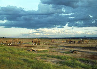 A large herd of elephants makes its way across Amboseli National Park in southern Kenya. Amboseli is generally recognized as the best place in Africa to get close to elephants in their natural surroundings.