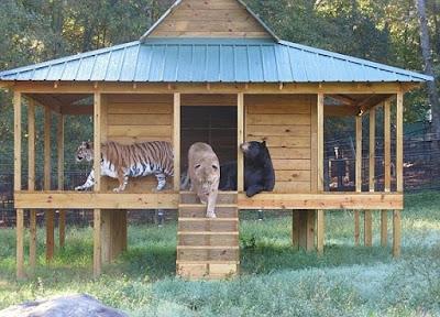 Tiger, lion and bear, strange combination