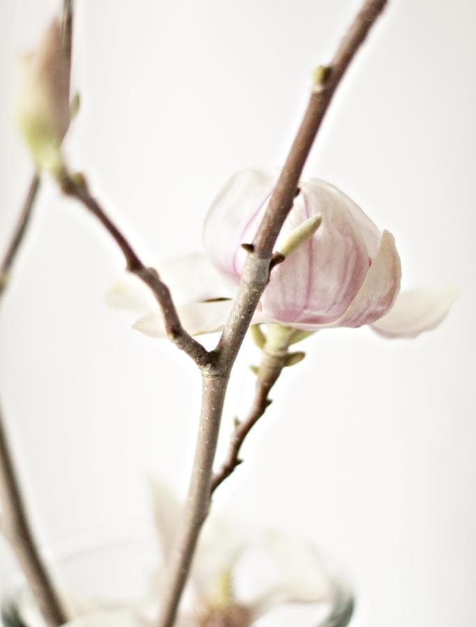 aufgeblühter Magnolienzweig