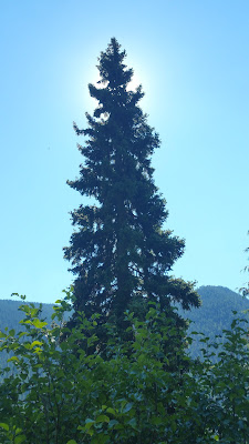 A beautiful Tree Surrouneed by Sun on the PCT.