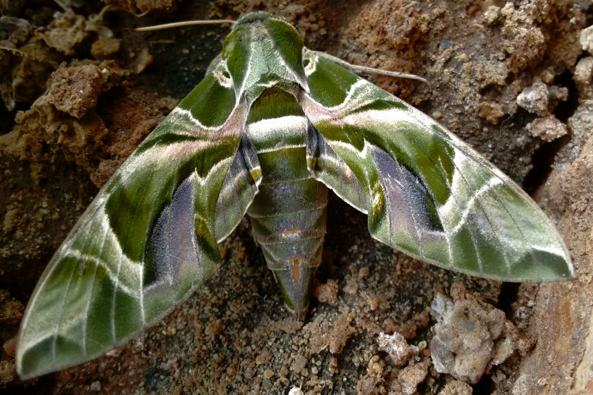 life at hyderabad pandora sphinx moth posted