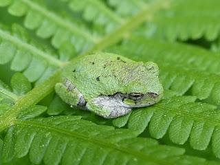 Rainette versicolore - Hyla versicolor