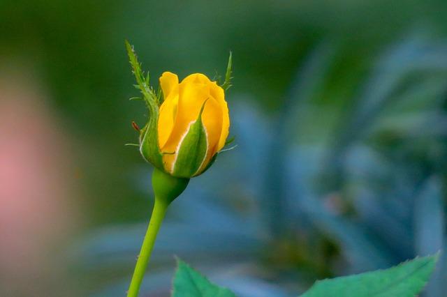 y nghia hoa hong vang