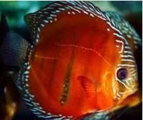 Ikan Hias Air Tawar Termahal. disus 7 cm