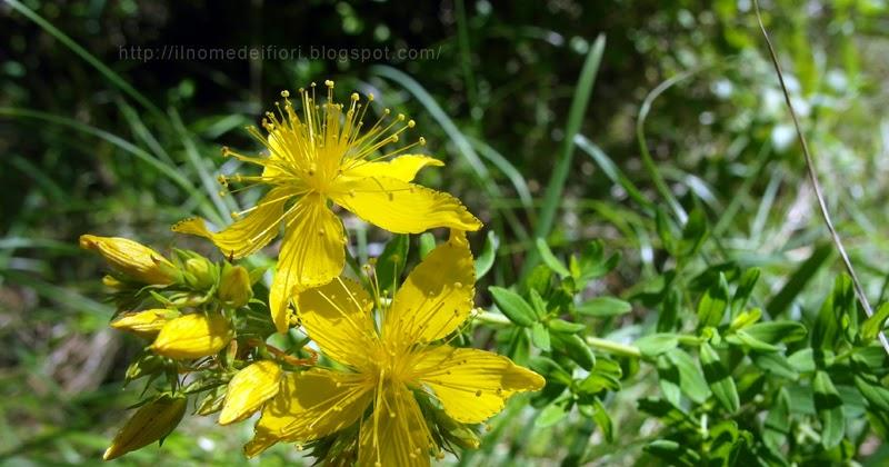 In nome dei fiori gialli - Geranio giallo ...