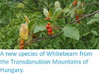 http://sciencythoughts.blogspot.co.uk/2014/04/a-new-species-of-whitebeam-from.html