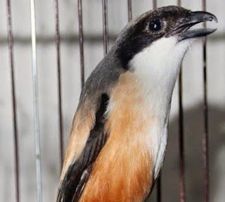 3 Manfaat Memandikan Burung Cendet Di Malam Hari Yang Sudah Terbukti Ampuh