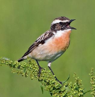 Suara burung Whinchat