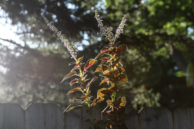coleus, gardens, late summer, Anne Butera, My Giant Strawberry