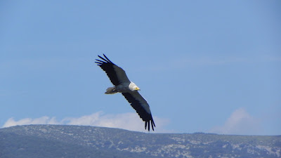 Egyptian Vulture, Sierra de Guara