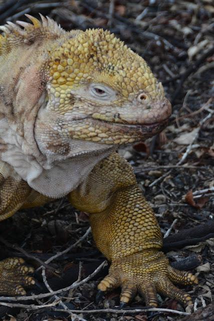 Urbina Bay Galapagos iguana head