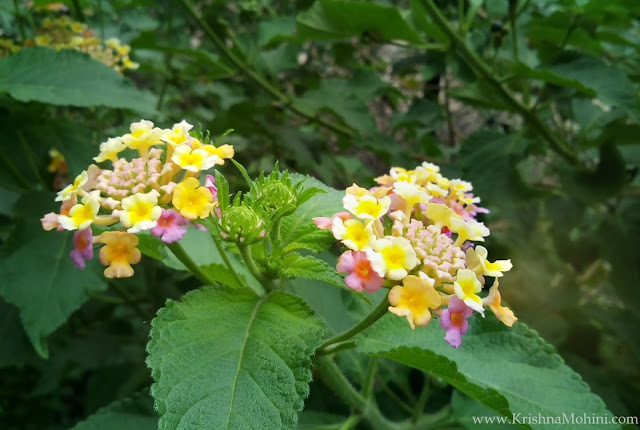 Image: Yellow Lantana Flower