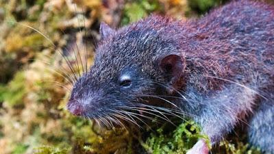 Ditemukan tikus akar spesies baru di gunung ganda dewata sulawesi