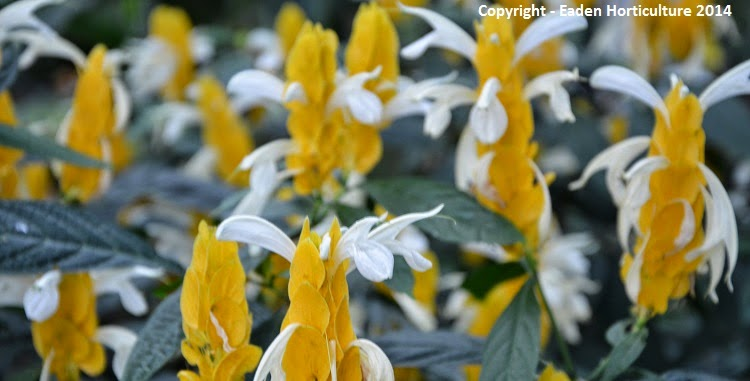 Golden Shrimp plant - Pachystachys lutea in yellow flower